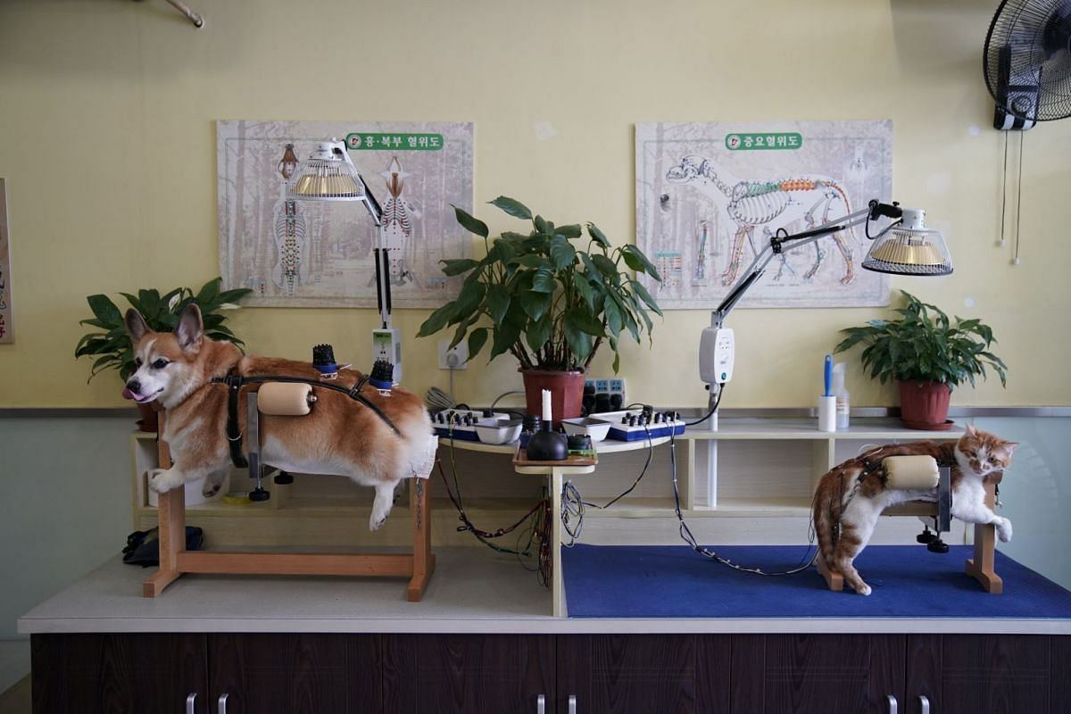 A dog and a cat receive treatment at Shanghai TCM (Traditional Chinese Medicine) Neurology and Acupuncture Animal Health Center, which specialises in acupuncture and moxibustion treatment for animals, in Shanghai.