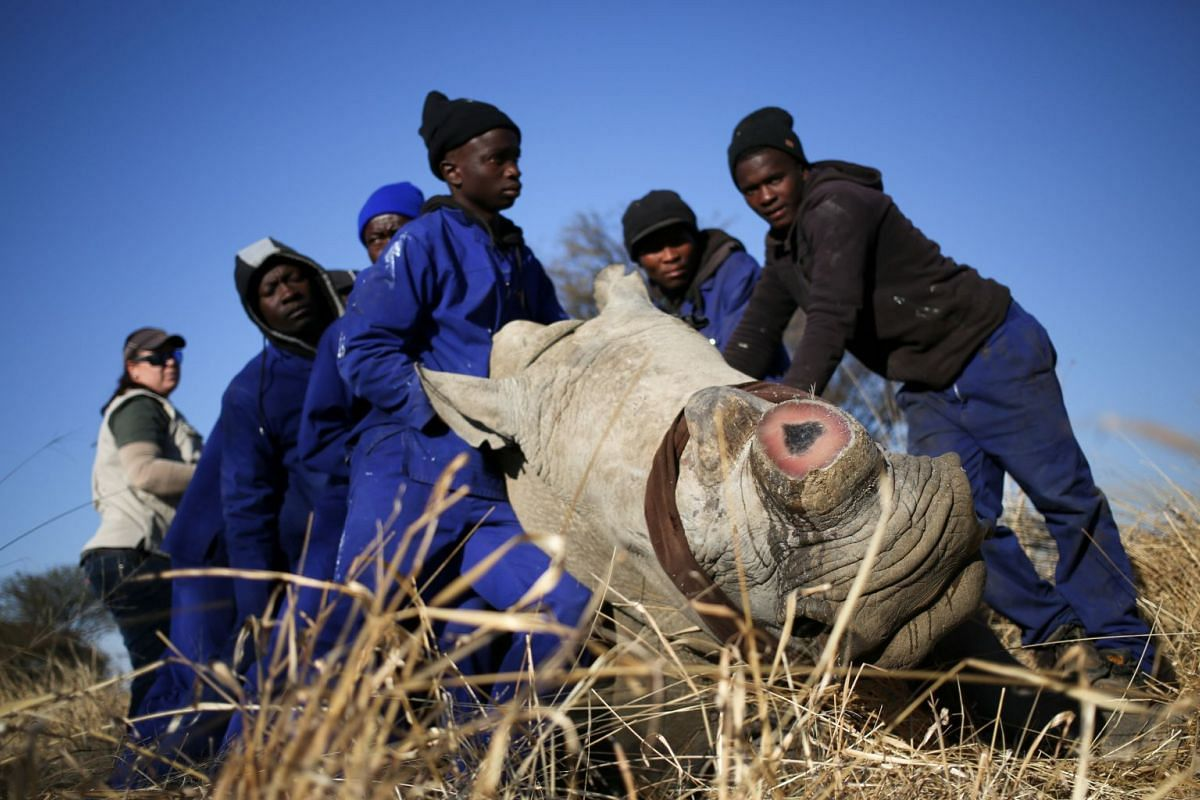 Workers hold a tranquillised rhino after it was dehorned in an effort to deter the poaching of one of the world's endangered species, at a farm outside Klerksdorp, in the north west province, South Africa.
