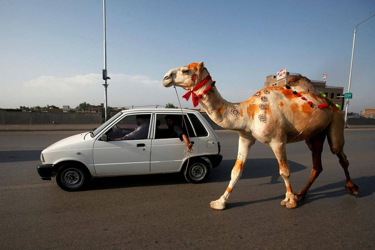 Men lead a recently-purchased camel by a car in Peshawar, Pakistan, on Aug 27, 2017.