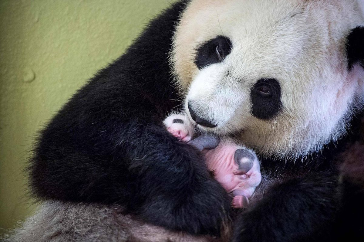Female panda Huan Huan with her cub inside her enclosure at The Beauval Zoo in Saint-Aignan-sur-Cher.