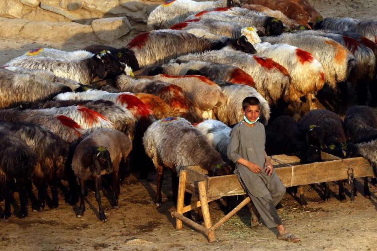 A young vendor waiting for customers to buy sacrificial animals ahead of the Eid al-Adha festival in Kabul, Afghanistan.