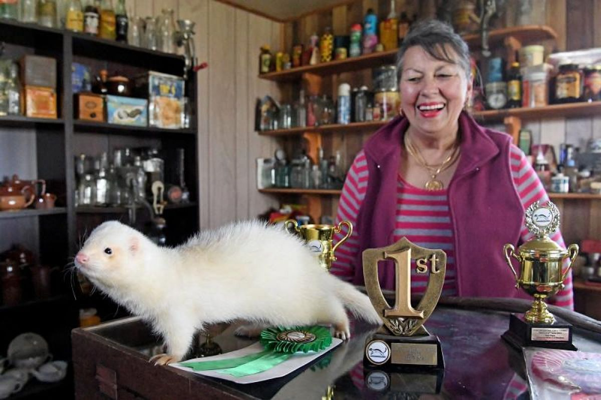 Ms Janet Scoble with her champion ferret, Scobie, on Aug 24 with some of the trophies it had won. The Scobles breed champion ferrets, which will compete in the upcoming annual ferret race at the Daffodil and Arts festival in Kyneton, north-west of Me