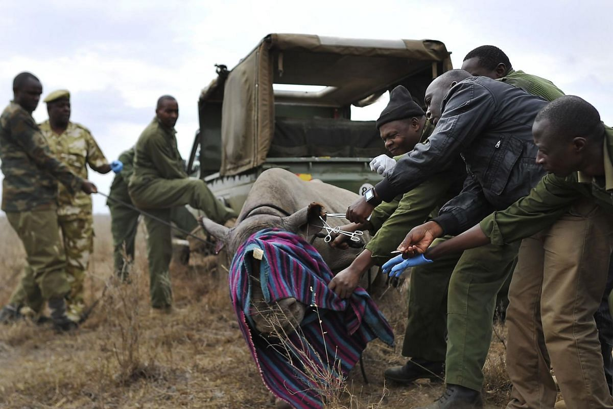 Kenya Wildlife Services (KWS) veterinarians and security personnel attempt to restrain a black-Rhino calf on Aug 30, 2017.