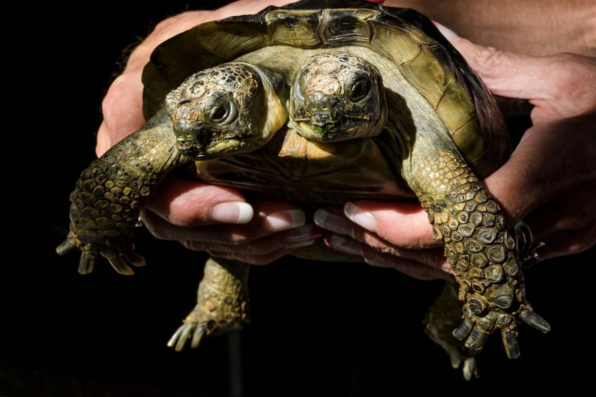 Janus, the Geneva Museum of Natural History's two-headed Greek tortoise, is photographed on the day of its 20th birthday, on September 3, 2017, in Geneva. PHOTO: AFP