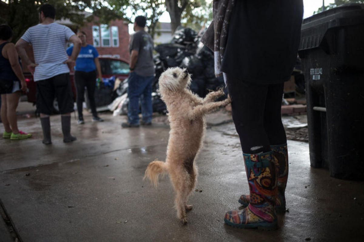 A poodle begging to be carried, as residents gathered outside a house left flooded by the tropical storm in Houston, Texas, on Sept 4.