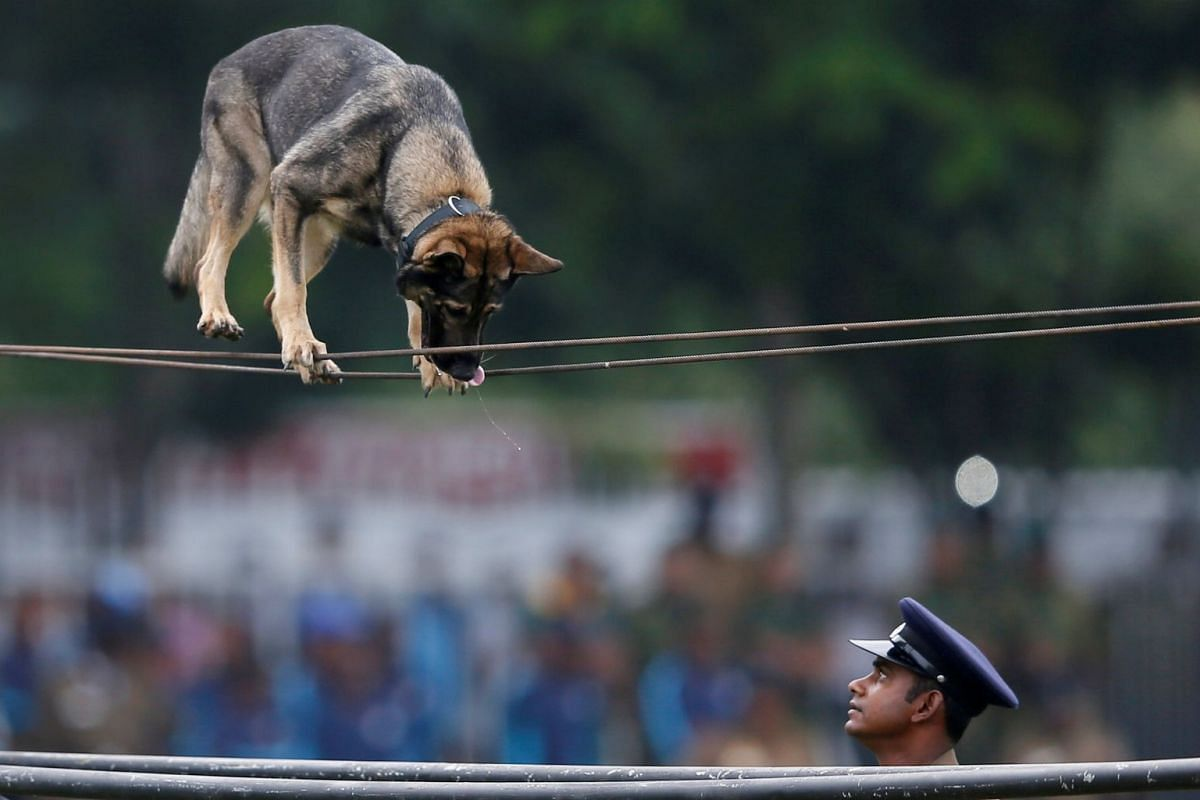 A police officer commands his trained police dog to perform at a demonstration during the 151st Sri Lanka's Police anniversary in Colombo, Sri Lanka on Sept 7, 2017. PHOTO: REUTERS