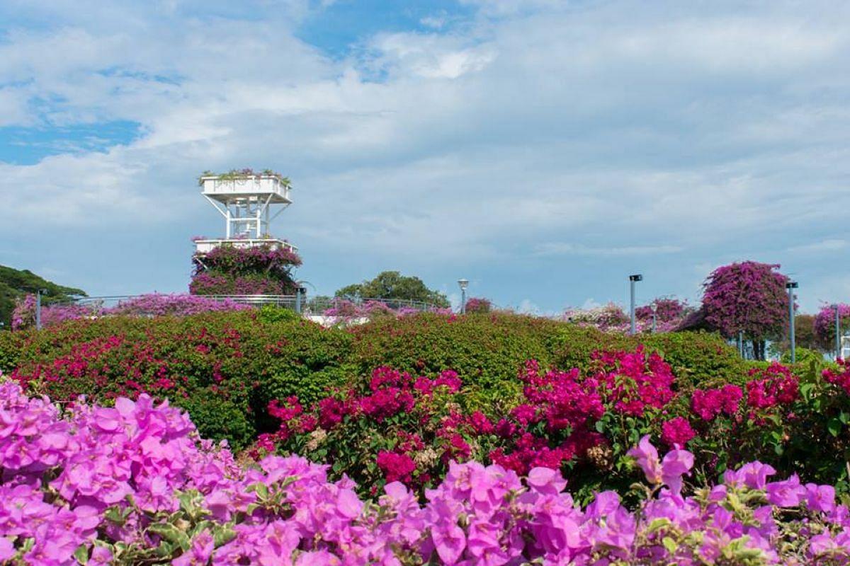 Bougainvillea flowering in East Coast Park.