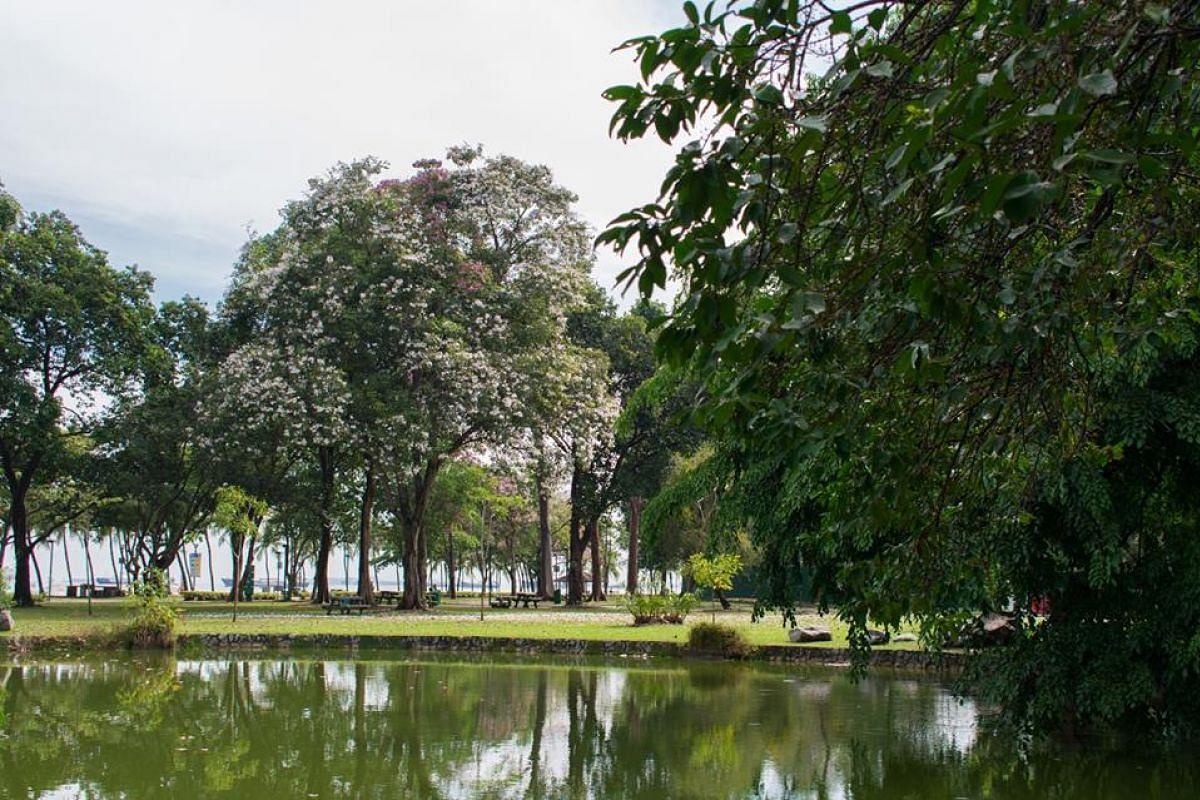 Trumpet trees (Tabebuia rosea) flowering in East Coast Park.