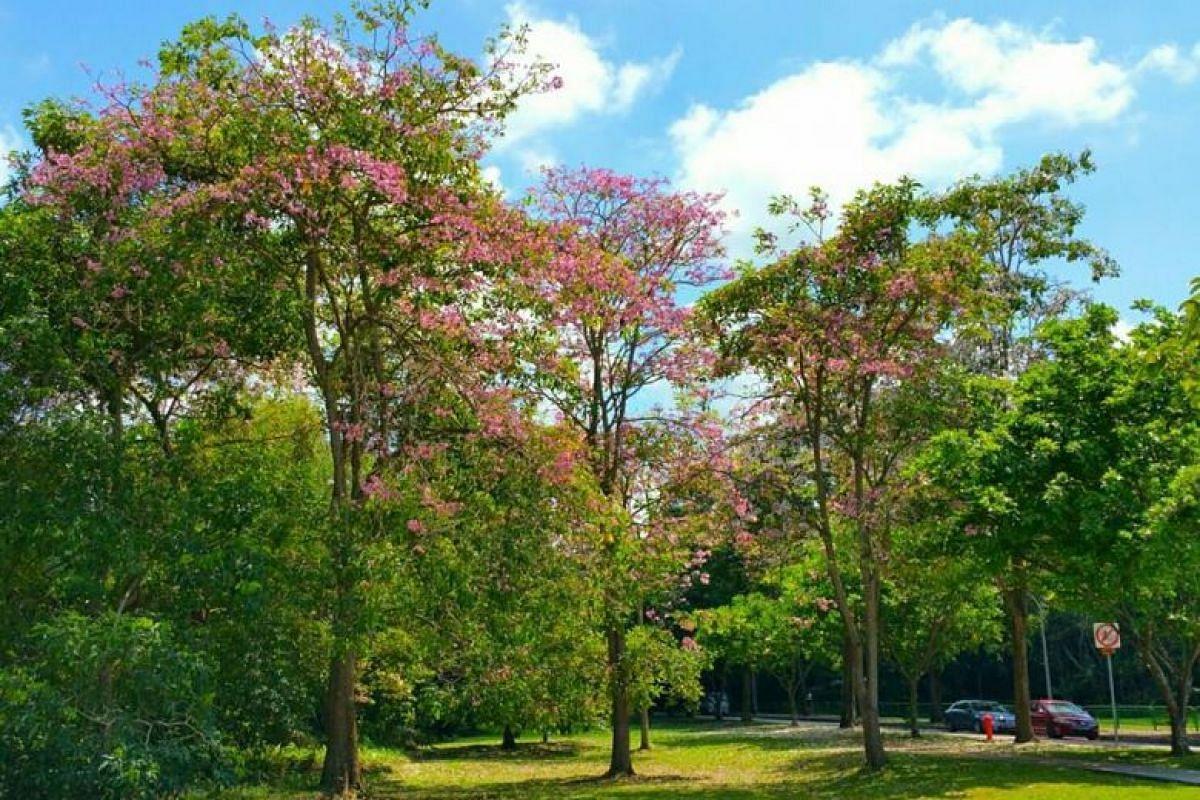 Trumpet trees (Tabebuia rosea) flowering at Pasir Ris Green.