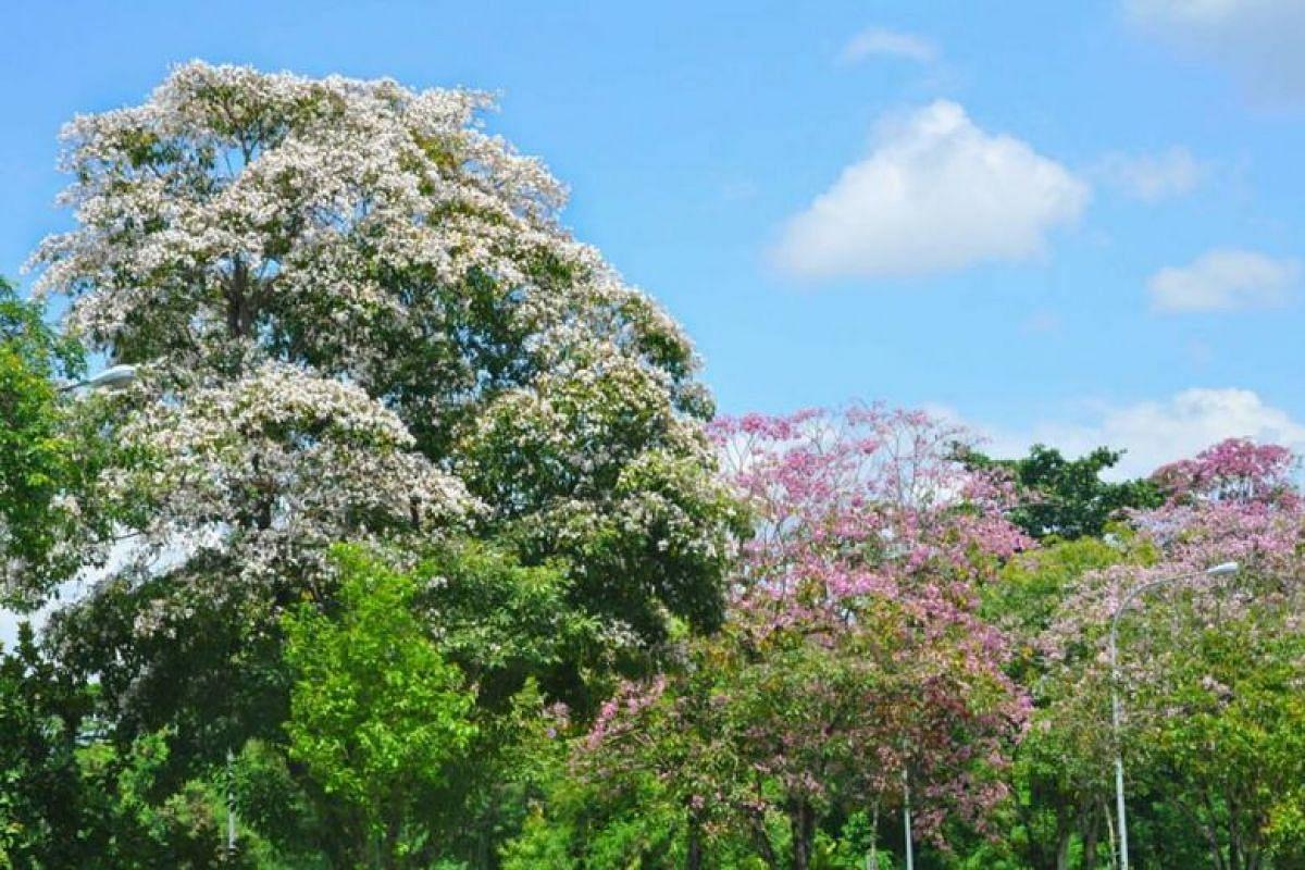 Trumpet trees (Tabebuia rosea) flowering at Tampines Link.