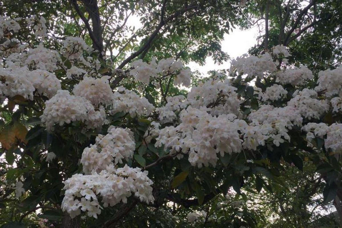 Trumpet trees (Tabebuia rosea) flowering in Pasir Ris Town Park.