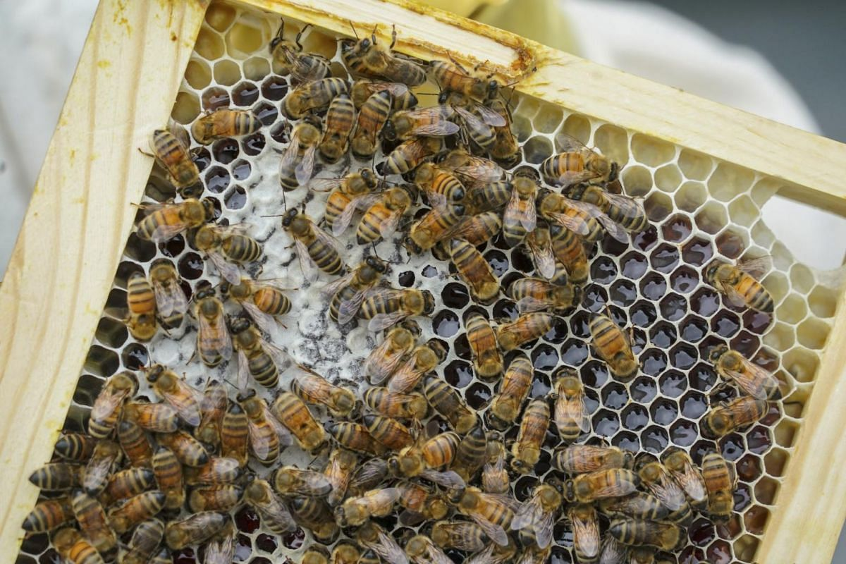A harvest of honey from bees raised on the roof of the Jacob K. Javits Convention Center in New York, on Sept 6, 2017.