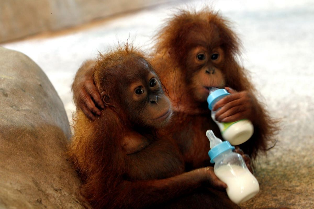 Two baby Sumatran orangutans rescued by border officials who foiled a bid to smuggle them into Thailand are fed after arriving at a wildlife center at Ratchaburi province in Thailand on Sept 13, 2017.