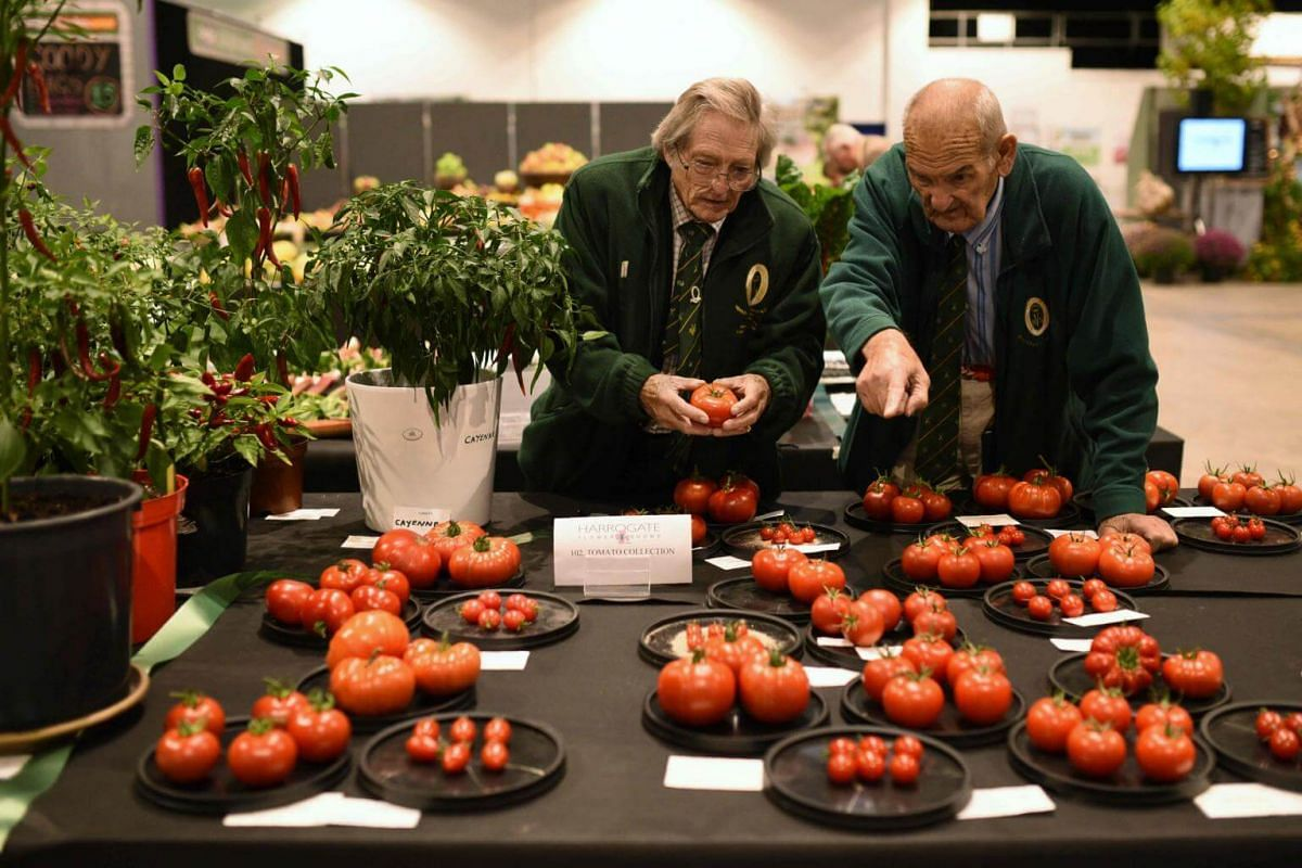 Competitors' tomatoes are judged on the first day of the Harrogate Autumn Flower Show held at the Great Yorkshire Showground, northern England, on Sept 15, 2017.