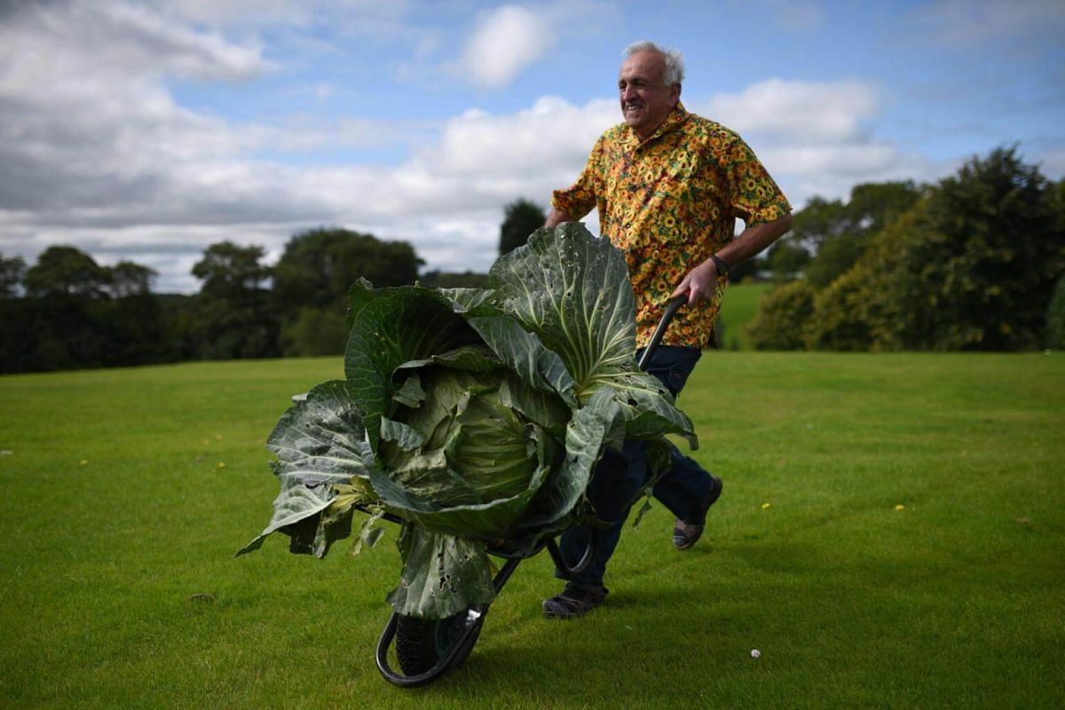 Ian Neale manoeuvres his 25.4kg cabbage which won its class in the giant vegetable competition on the first day of the Harrogate Autumn Flower Show held at the Great Yorkshire Showground, northern England, on Sept 15, 2017.