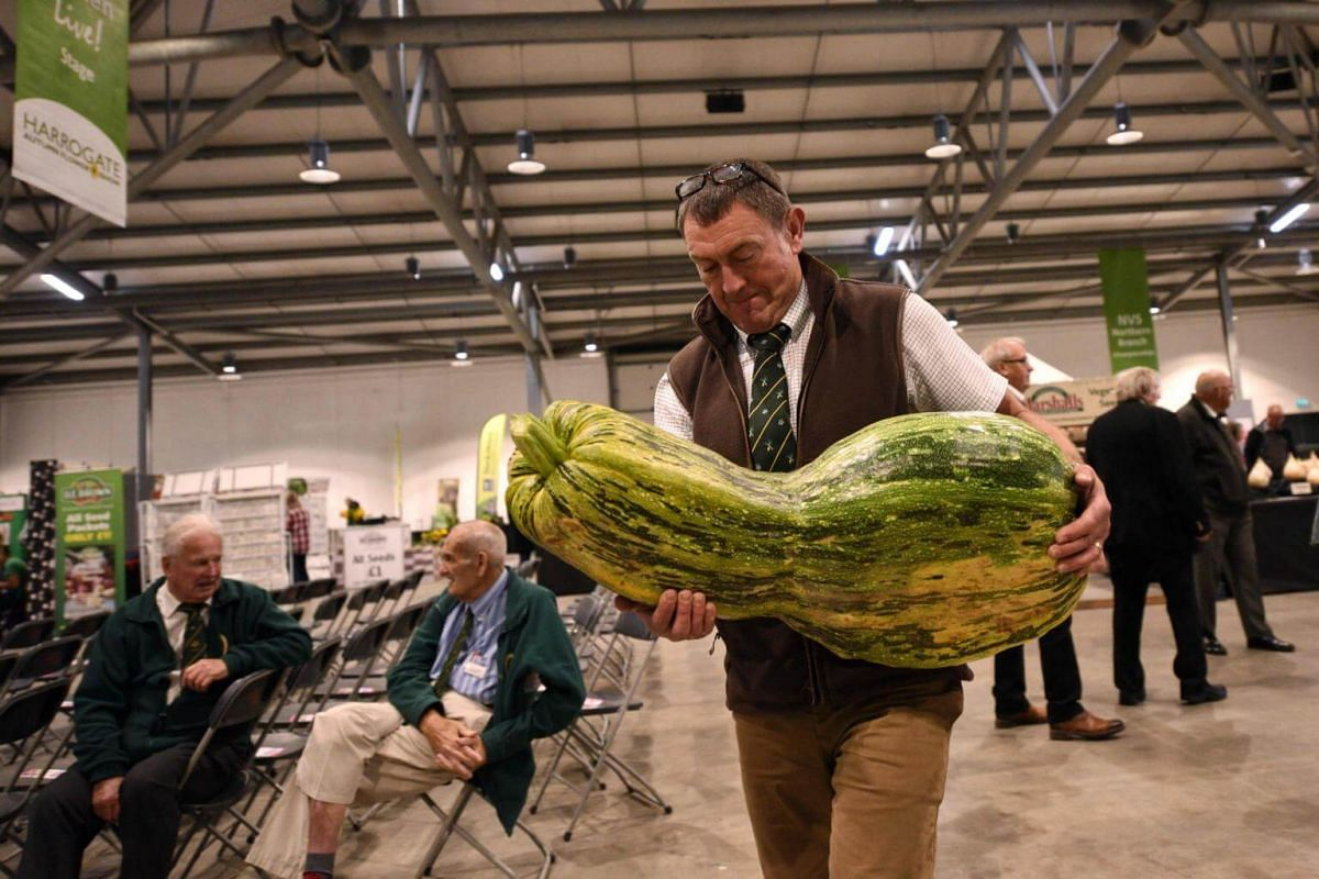 A large marrow being carried to be weighed in the giant vegetable competition on the first day of the Harrogate Autumn Flower Show held at the Great Yorkshire Showground, northern England, on Sept 15, 2017.