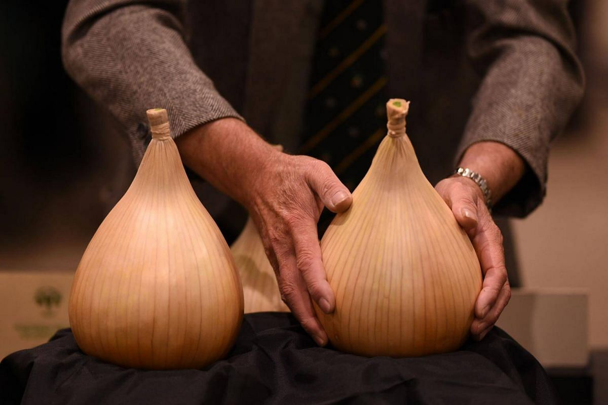 A large onion is inspected in the vegetable competition on the first day of the Harrogate Autumn Flower Show held at the Great Yorkshire Showground, northern England, on Sept 15, 2017.