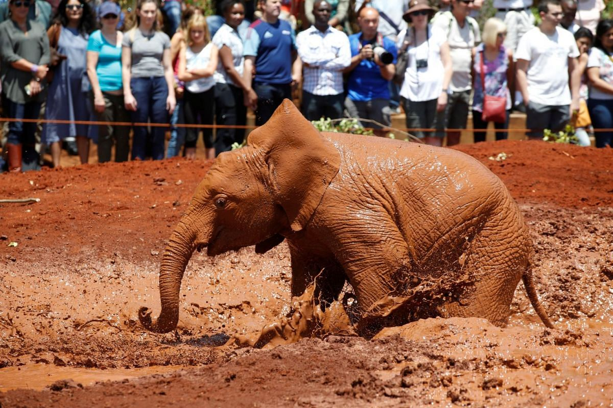 An orphaned baby elephant plays in a mud puddle at the David Sheldrick Elephant Orphanage within the Nairobi National Park, near Kenya's capital Nairobi, Kenya, on Sept 18, 2017. PHOTO: REUTERS