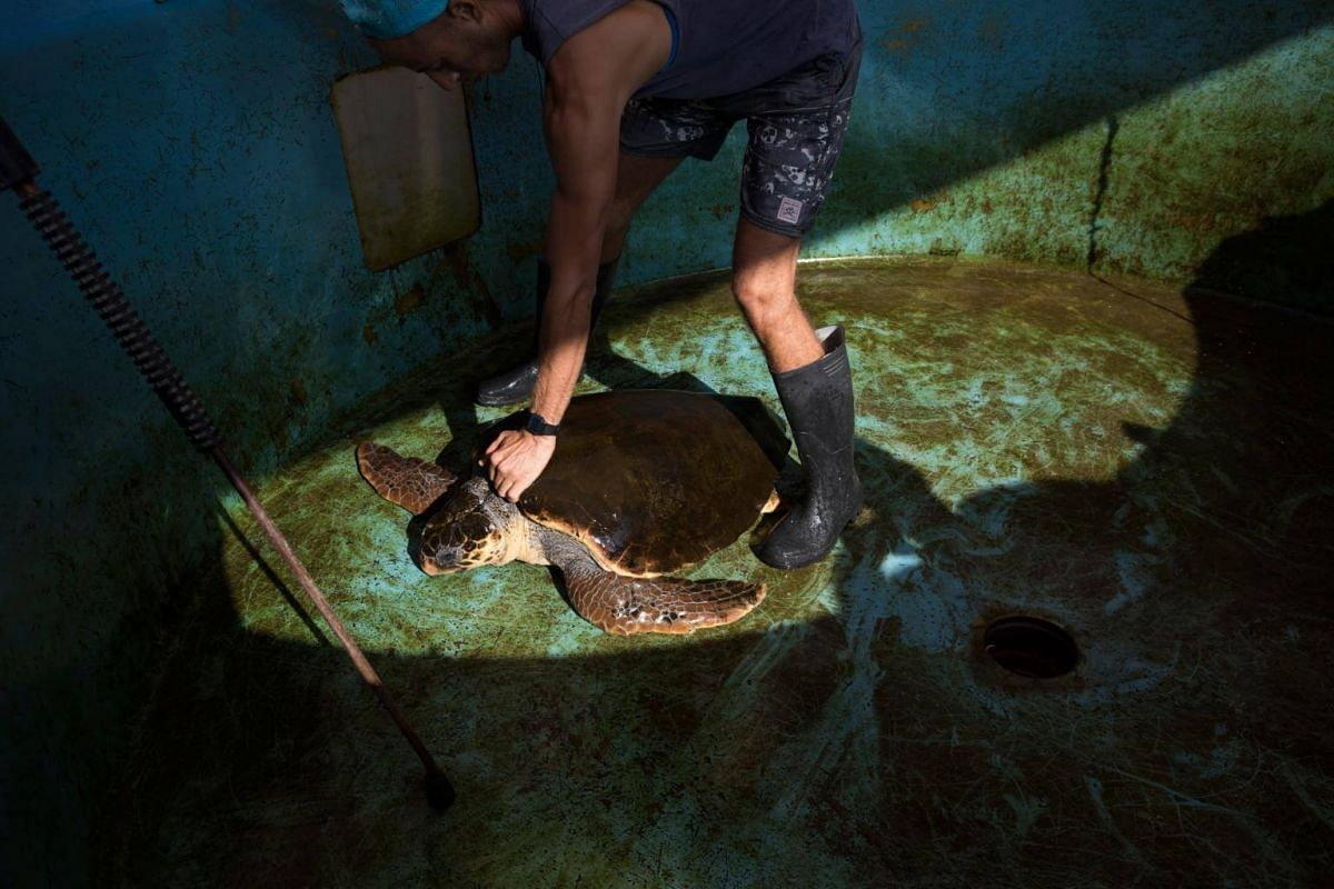An employee cleans a loggerhead sea turtle at a water pool, on Sept 18, 2017.