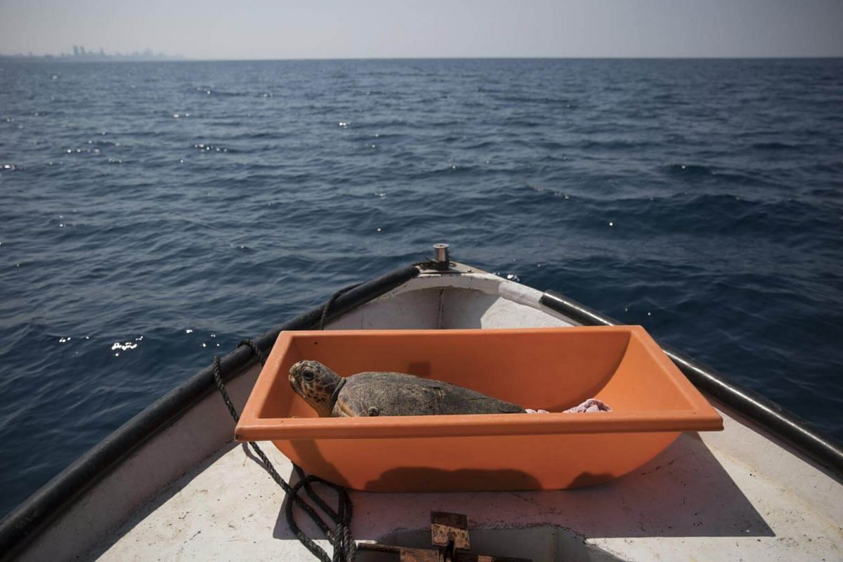 A loggerhead sea turtle waits to be released back into the sea on a boat of the Sea Turtle Rescue Center, on Sept 18, 2017.