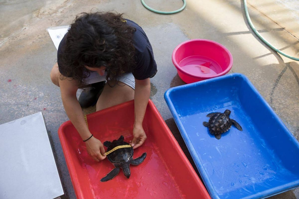 A worker measures a young Green sea turtle at the Sea Turtle Rescue Center, on Sept 18, 2017.