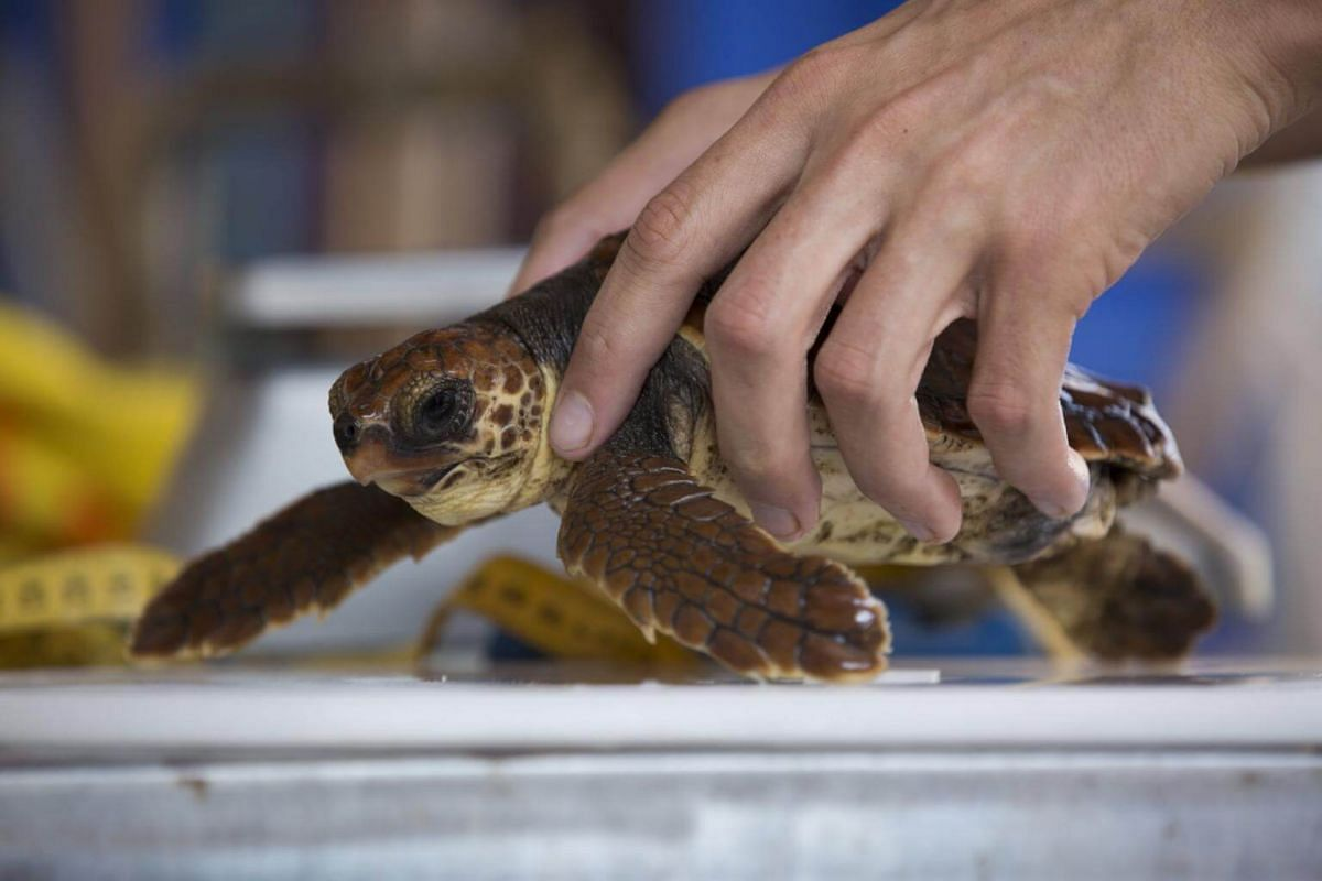 A worker weighs a young loggerhead sea turtle at the Sea Turtle Rescue Center, on Sept 18, 2017.