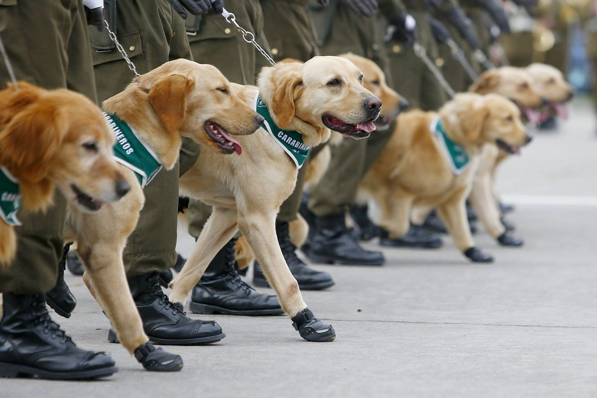 Police dogs participate during the celebration of the Day of the Glories of the Army, at the O'Higgins park, in Santiago, Chile, on September 19, 2017. PHOTO: EPA-EFE
