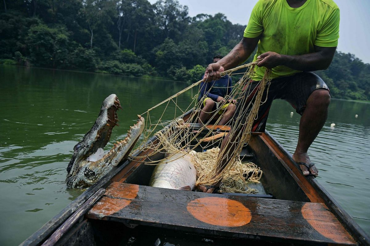 Fishermen pull up a live 2.5 metre crocodile in their net in the Western Amazon region, Brazil on September 20, 2017. The fishermen were fishing for a large river fish called Arapaima but sometimes crocodiles become stuck in the nets as well. PHOTO: