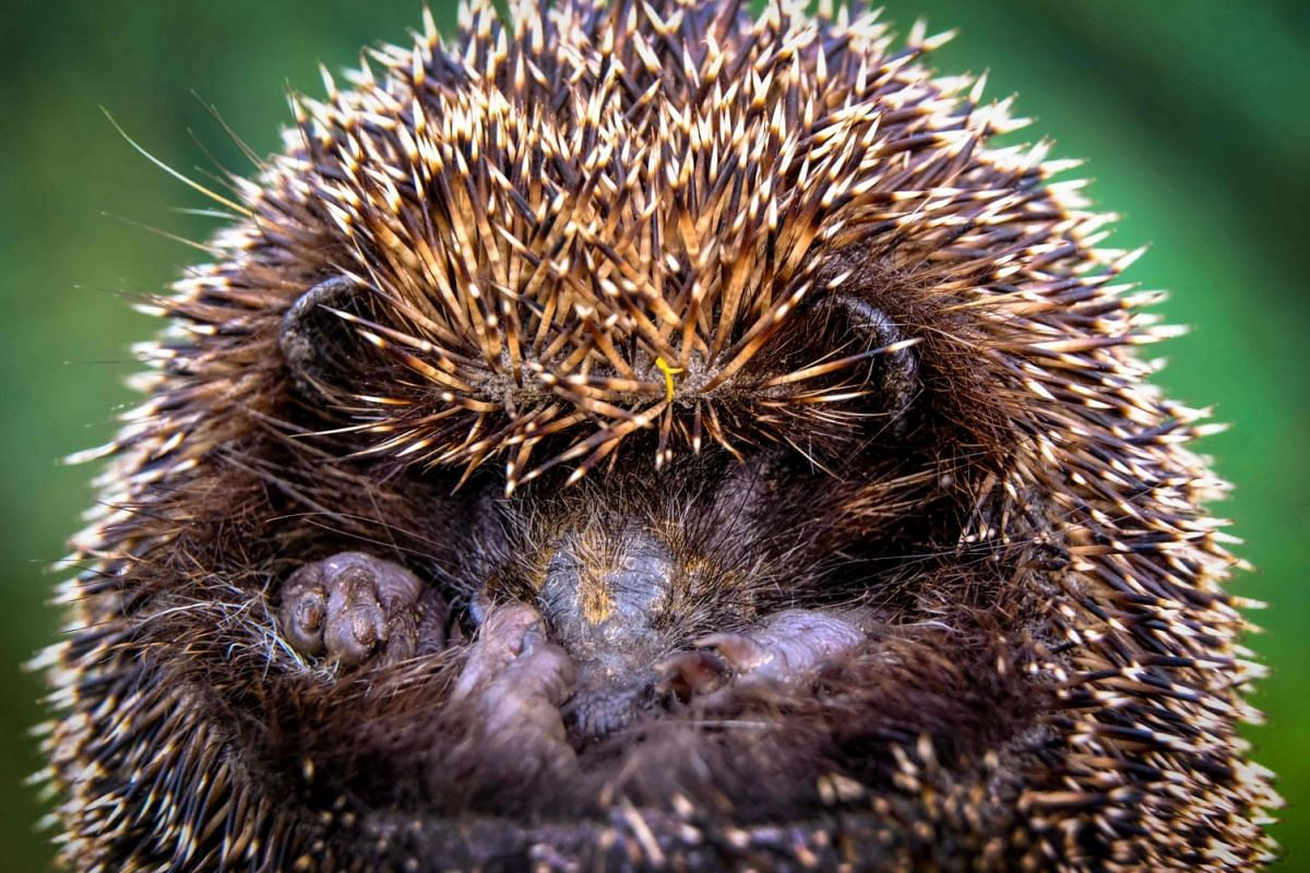 A hedgehog curls up in a garden outside Moscow on September 20, 2017. PHOTO: AFP