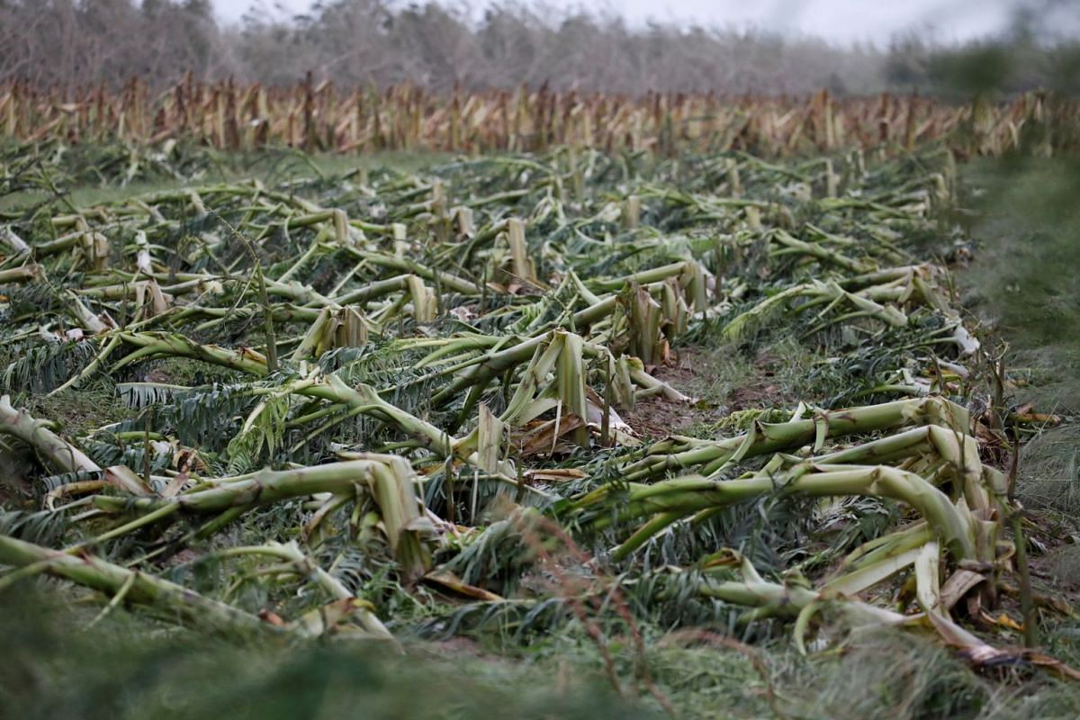 A damaged banana plantation is seen after the area was hit by Hurricane Maria en Guayama, Puerto Rico on Sept 20, 2017.