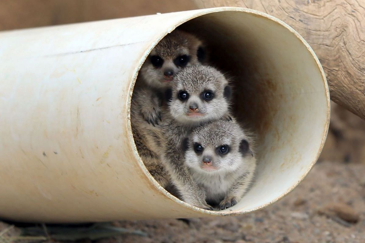 An undated handout photo received on September 21, 2017, shows three meerkat pups born at Canberra's National Zoo and Aquarium in Canberra. Born last month, the pups weigh just 150 grams and have spent three weeks in their burrow where they were look