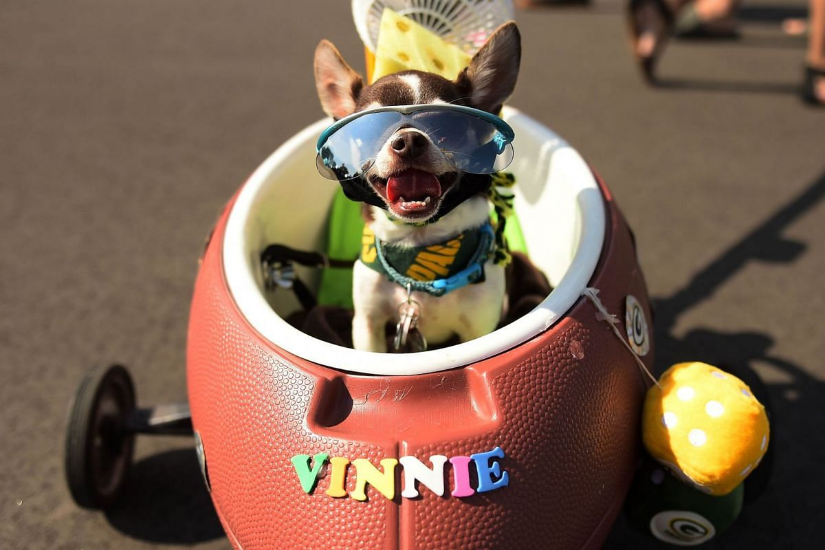 Vinnie rides in his cart prior to a game between the Green Bay Packers and the Cincinnati Bengals at Lambeau Field on September 24, 2017 in Green Bay, Wisconsin. PHOTO: GETTY IMAGES/AFP
