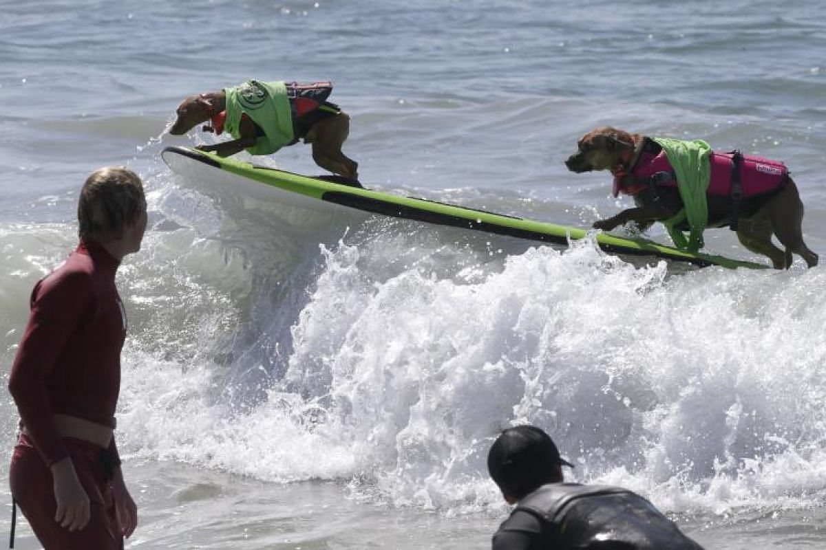 Two dogs ride atop a wave in the Tandem category.