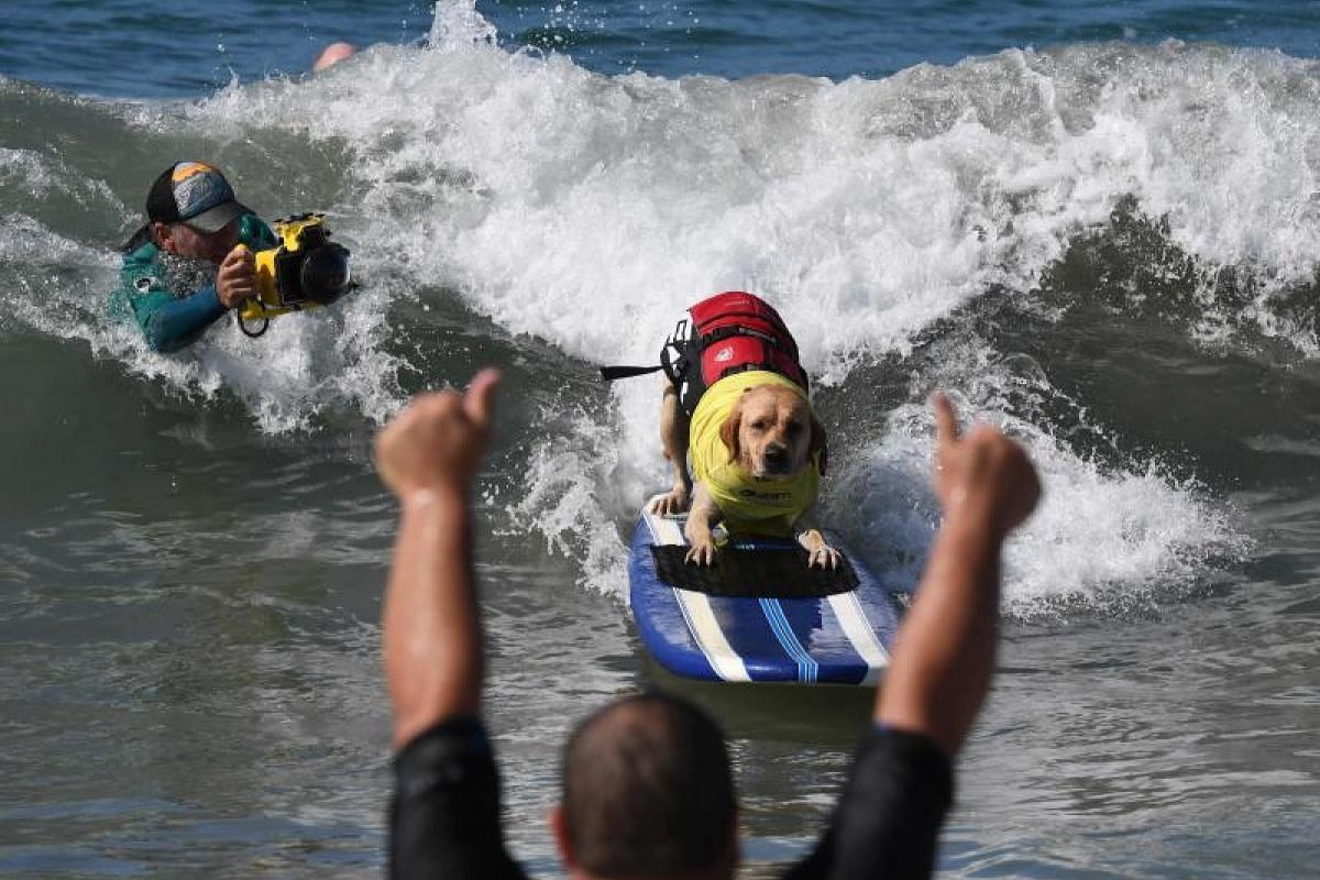 Surf dog Charlie rides a wave in his heat of the Extra Large Dog event.