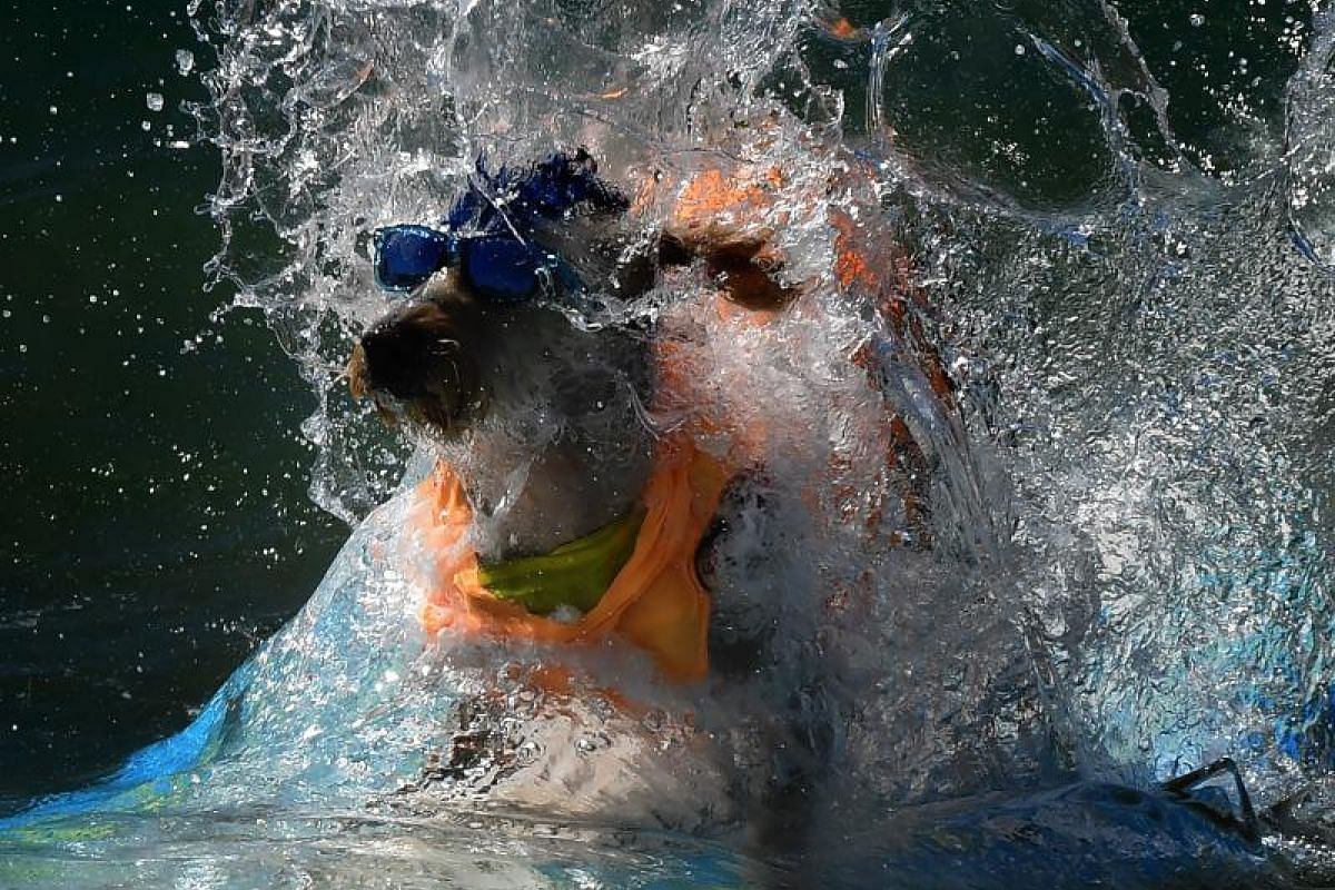 Surf dog Derby wipes out in his heat of the Extra Large Dog event.