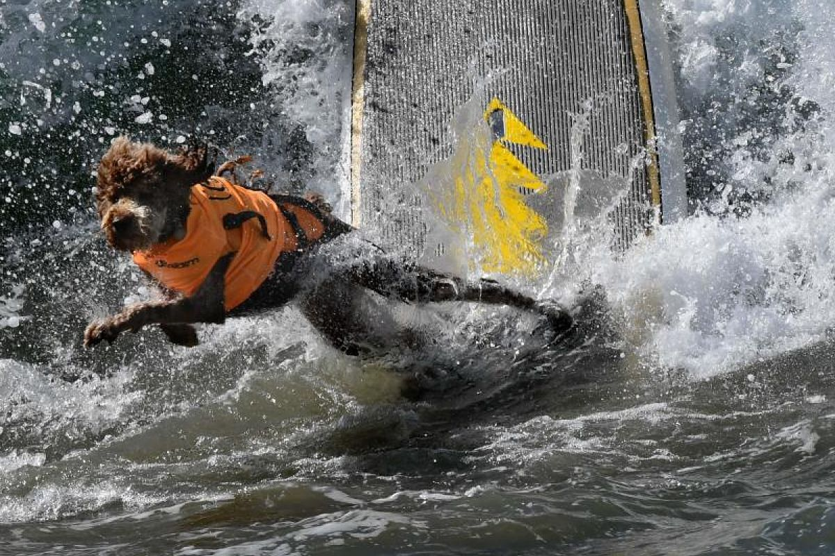 Surf dog Kula wipes out in his heat of the Extra Large Dog event.