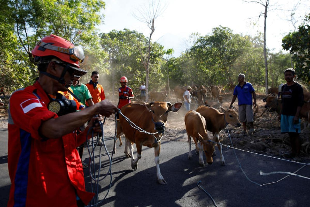 A search and rescue team helps farmers load their cattle into a truck that was blocking the road near Mount Agung.