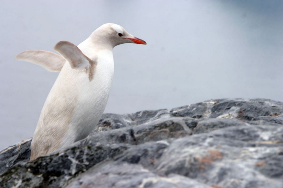 A gentoo penguin is usually distinguished by the white spot behind its eye that stands out against black feathers. The spot, though harder to see, is still visible in this individual.