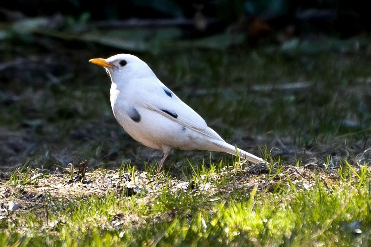 This is a leucistic blackbird, which, as its name suggests, is supposed to be almost completely black.