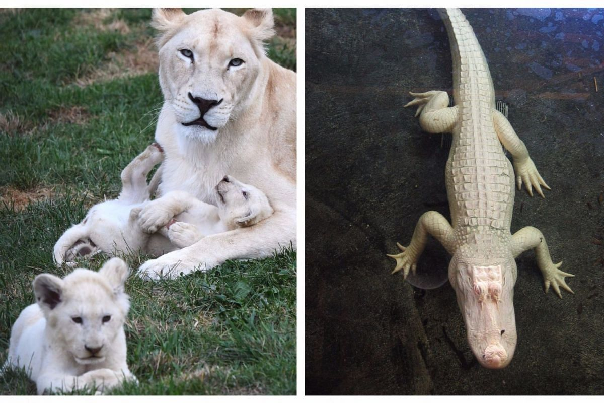 White lions (left) at a private zoo in Dvorec village in the Czech Republic. Pigments are very important to animals for a number of reasons, such as providing camouflage, and protecting the skin and eyes from the sun. (Right) This albino alligator is