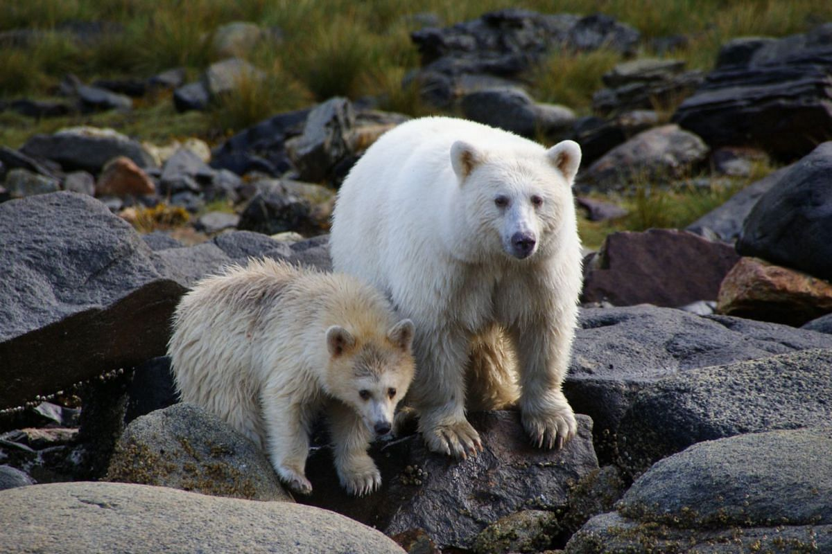 Some black bears living in Canada are born white due to a condition called kermodism, a mutation of the same gene associated with red hair and fair skin in humans.