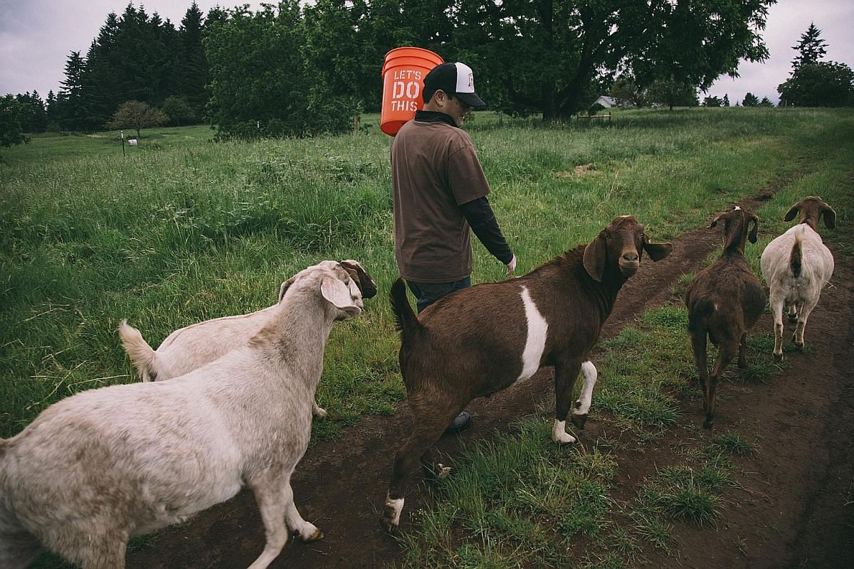 Besides letting goats fertilise his vineyards, Mr Tai-Ran Niew (below) refrains from using pesticides or herbicides on his land.