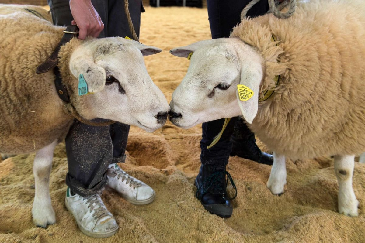 Sheeps on display at the Sommet de l'Elevage livestock show at Cournon d'Auvergne, France, Oct 4, 2017. PHOTO: AFP