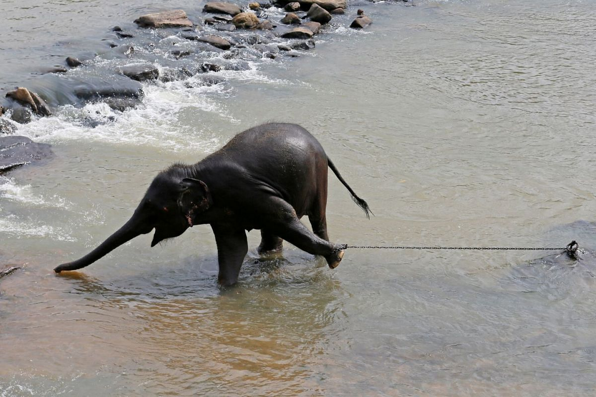 An elephant stretches to grab food in a river at orphange for elepants in Rambukkana, Sri Lanka, October 5, 2017.  PHOTO: REUTERS