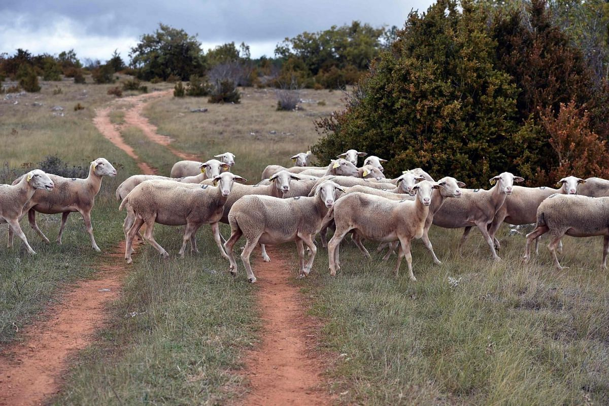 Sheeps cross a path on the plateau Du Larzac, southern France, on Oct 6, 2017. PHOTO: AFP