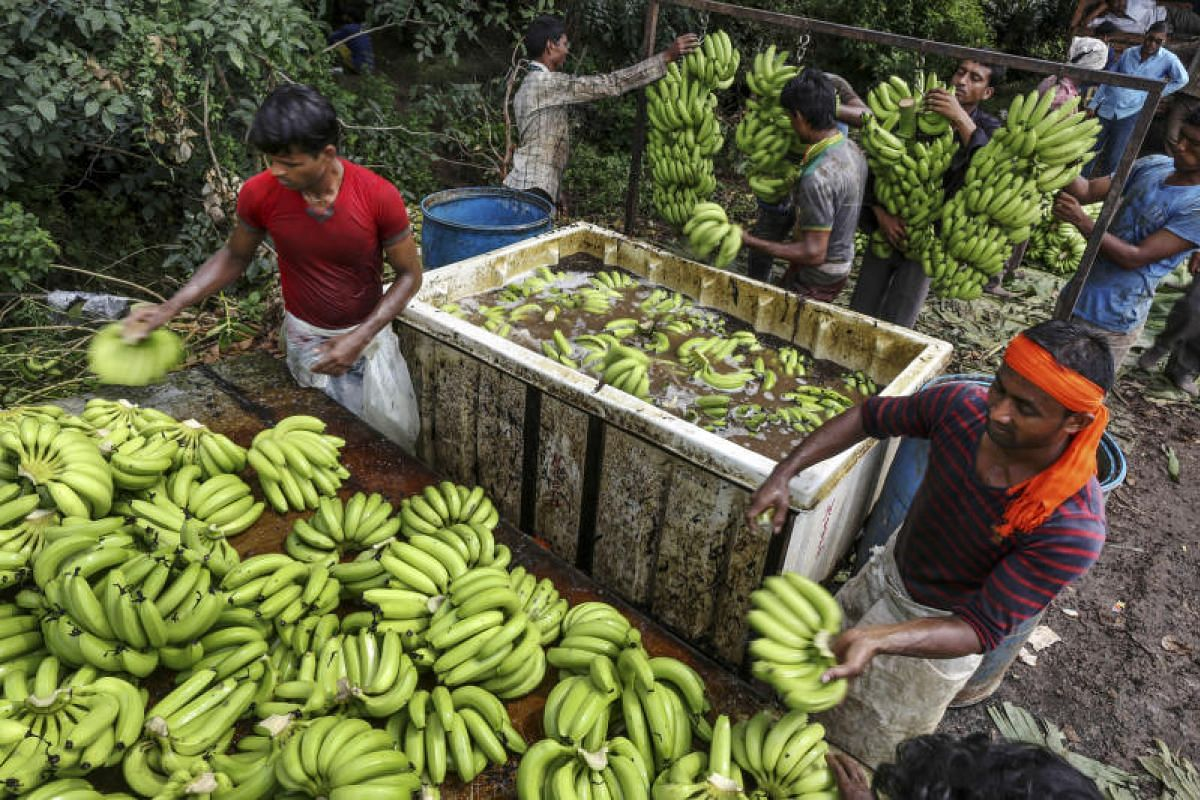 Workers washing hands of bananas in water sanitised with aluminium sulfate before packing them into crates during a harvest in Jalgaon, Maharashtra, India, on Oct 9, 2017. India's inflation unexpectedly slowed in September, potentially reviving calls
