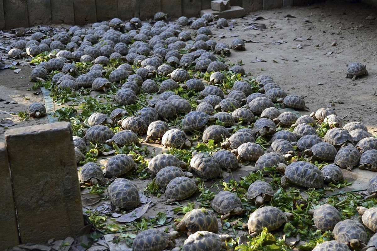 Burmese star tortoise hatchlings feed at a sanctuary in Myanmar in an undated handout image. The Burmese star tortoise was declared functionally extinct in the early 2000s, but conservation efforts have helped the species make a comeback.