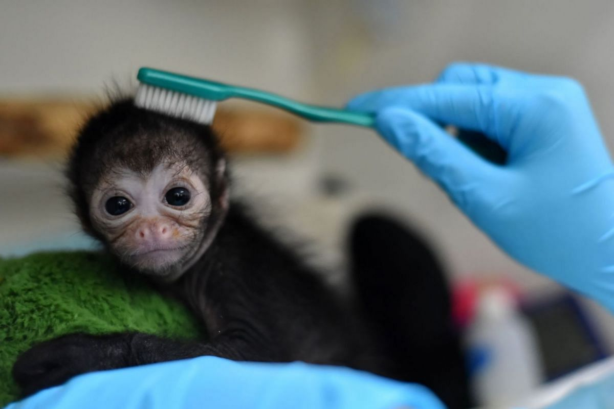 A 25-day-old spider monkey is cared for by veterinarians at the zoo clinic in Cali, Colombia, October 19, 2017. The offspring fell from the arms of its mother from a considerable height, which caused injuries in the toes of one of its feet. The prima