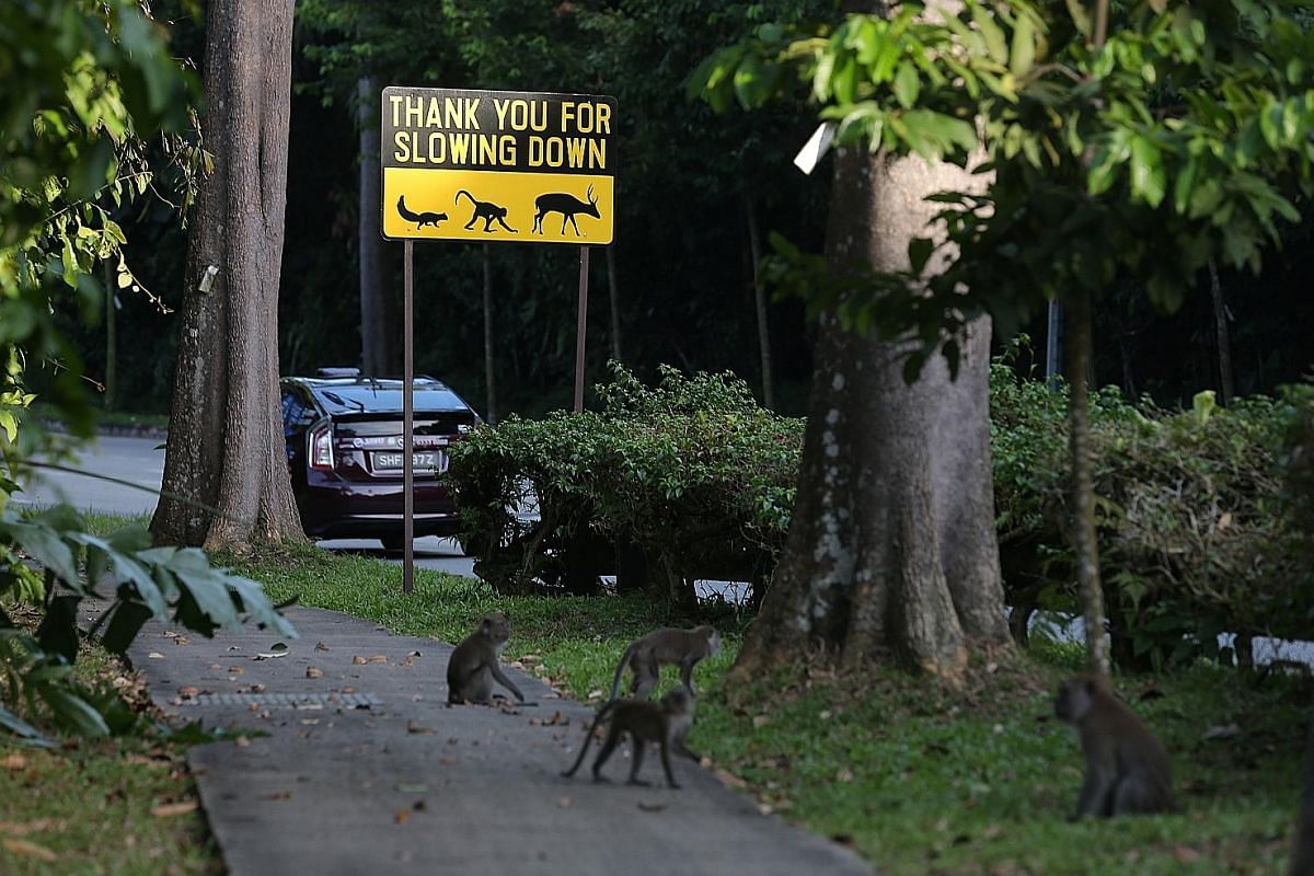 Last November, the speed limit for most parts of Mandai Lake Road was reduced to 40kmh, and for the stretches of road near the nature reserve, to 20kmh. There are also signs to remind drivers to slow down and be alert in case animals cross.