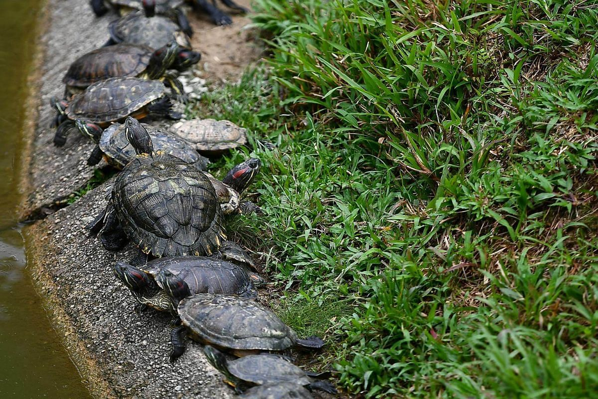 Terrapins and turtles line up the edge of the pond to bask under the sun. There are as many as 300 terrapins and turtles in the pond.